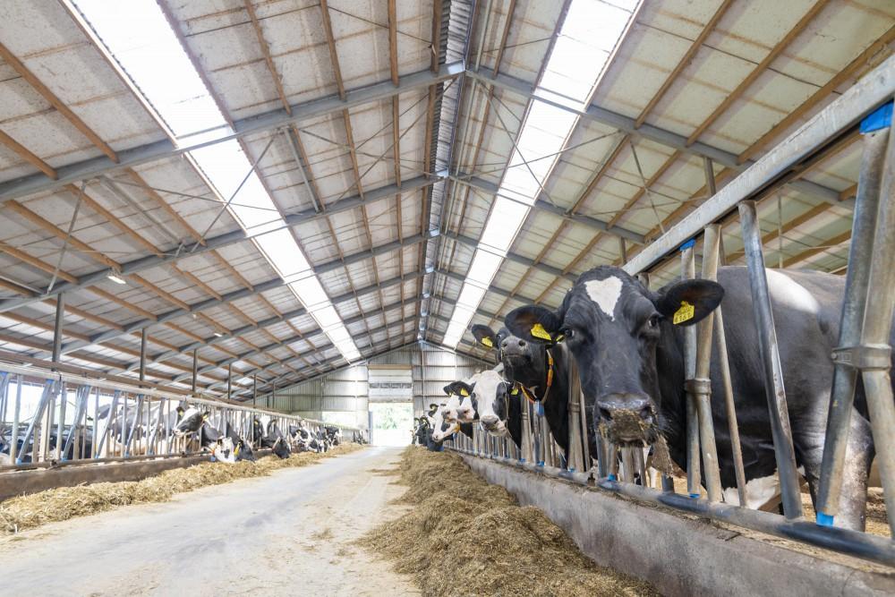 Cattle stall Oerlemans family